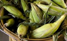 Bucket of freshly picked corn Stock Photo