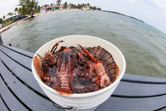 Bucket of Lionfish Caught in Caribbean Stock Photography