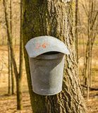Bucket on a Maple Trees Collecting Sap. Tap holes are drilled into maple trees trunk and galvanized buckets are hung from tap holes of the maple trees to collect royalty free stock photos