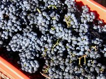 Bucket of Merlot grapes Stock Images