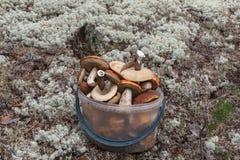 Bucket full of mushrooms. Siberia, Russia stock image
