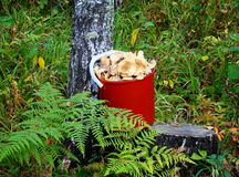 Bucket with mushrooms. Pailful of honey agarics stand under a silver birch in the wood Stock Photo