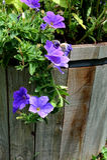Bucket of Petunias Stock Image