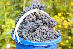 Bucket of picked grapes Royalty Free Stock Photos