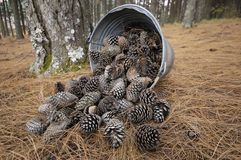 Bucket with pine cones Royalty Free Stock Image