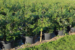 Bucket plants of Blueberries Nursery gardening Royalty Free Stock Image
