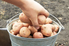 Bucket of potato Royalty Free Stock Images