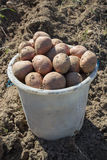 Bucket of potatoes in the field Royalty Free Stock Images