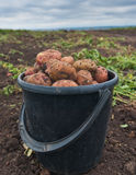 A bucket of potatoes Stock Photos