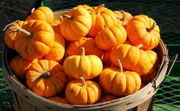 Bucket of pumpkins Royalty Free Stock Photos
