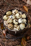 Bucket of Quail Eggs on Leaves and Twigs Stock Photography