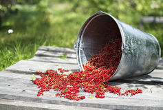 Bucket with red currant 4 Royalty Free Stock Images