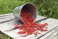 Bucket with red currant 3 Stock Image