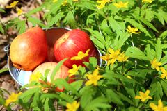 A bucket of red fruits with ripe apples and pears amidst bloomin royalty free stock photo