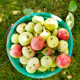 Bucket with ripe apples in fruit orchard Stock Images