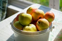 Bucket with ripe apples on the table, farm life. Food. Harvesting. Bucket with apples in the garden. stock photography