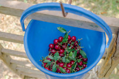 Bucket of ripe sour cherries royalty free stock photos