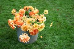 Cut Dahlias in a bucket surrounded by grass. Stock Photography