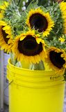 Bucket of Sunshine. Yellow bucket of sunflowers at the farmers market royalty free stock image