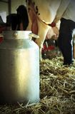 bucket to collect the MILK in the barn with a cow in the backgro Stock Image