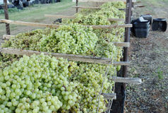 Sun Muscat Grapes On Drying Rack. Stock Images