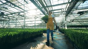 Bucket with tulips is getting carried by a lady through the hothouse. 4K stock video footage