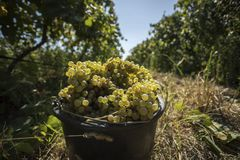 Bucket of white grapes Stock Photo