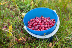 Bucket with wild cranberries Stock Photography
