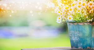 Bucket with wild daisies over summer or spring beautiful garden Stock Images
