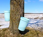Buckets collecting sap hanging from trunk of Maple tree royalty free stock images