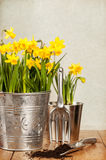 Buckets Of Daffodils Stock Photo