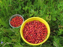Buckets with forest strawberries. A lot of wild strawberries collected from wild forest glade Royalty Free Stock Photos