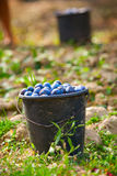 Buckets with harvested plums Stock Photography