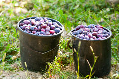 Buckets with harvested plums Stock Photos