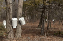 Buckets hung on New England sugar maple trees in spring. Sugaring time in spring, when the sugar maples in New England provide syrup for the coming year Royalty Free Stock Photo