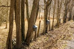 Buckets on Maple Trees Collecting Sap. Tap holes are drilled into maple trees trunk and galvanized buckets are hung from tap holes of the maple trees to collect stock images