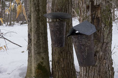 Buckets on maple trees stock images