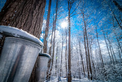 Buckets in a maple woods in March, getting ready  to collect sap. Maple sap buckets wait to be filled in March Sun Stock Photography