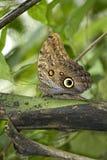 buckeye πεταλούδα Στοκ Φωτογραφία