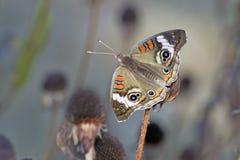 buckeye στήριξη πεταλούδων Στοκ φωτογραφίες με δικαίωμα ελεύθερης χρήσης