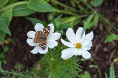 Buckeye στο άσπρο λουλούδι στοκ φωτογραφία με δικαίωμα ελεύθερης χρήσης