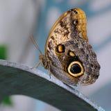 Buckeye Butterfly Stock Photos