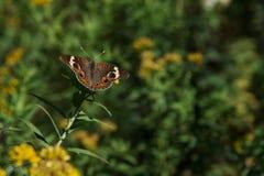 Buckeye Butterfly Stock Image