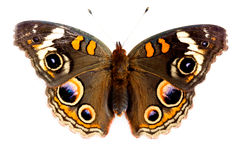 Buckeye Butterfly Stock Photos