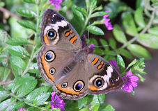 Buckeye Butterfly. A Buckeye butterfly on a purple flower. Focus is on the butterfly Royalty Free Stock Photography