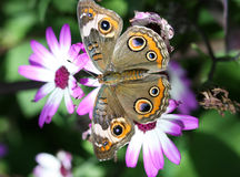 Buckeye butterfly Royalty Free Stock Photos
