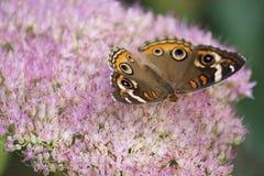 The Buckeye butterfly Stock Photo