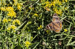 Buckeye butterfly and a bee. Buckeye butterfly and a bee on flowers. Butterfly is a Junonia coenia Royalty Free Stock Photography