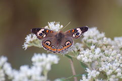 Buckeye Butterfly on Boneset blossoms. A buckeye butterfly, Junonia coenia, on boneset blossoms. Large numbers of these butterflies migrate in the United States Stock Images