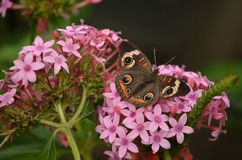 Buckeye Butterfly Royalty Free Stock Images